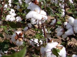 Le plant de coton Sea Island